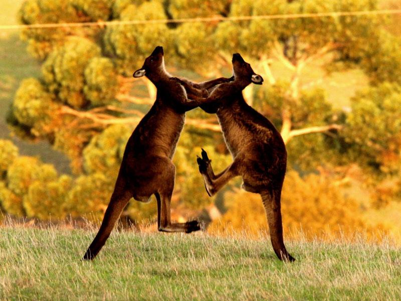 Kangaroos on Kangaroo Island - Wilderness Tours Accomodation