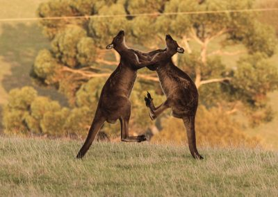 Kangaroos-fighting-1