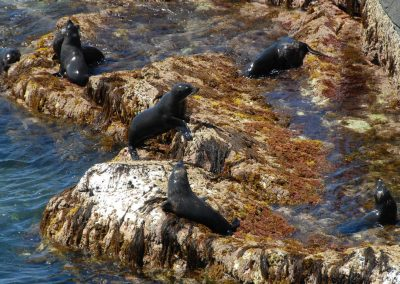Fur-Seals-on-Rocks-KI