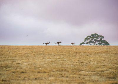 Kangaroo-ambience-image-1