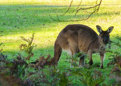Kangaroos-in-grass-1