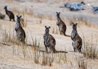 Kangaroos-together-in-pack-1