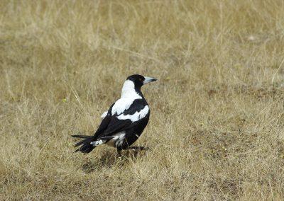 Magpie-bird-1