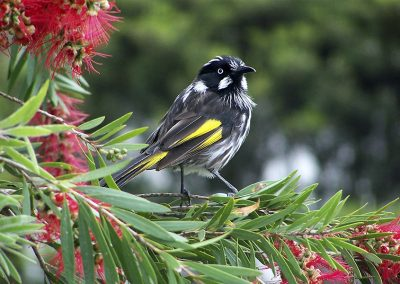 New-Holland-Honeyeater-Honeyeaters-bird-1