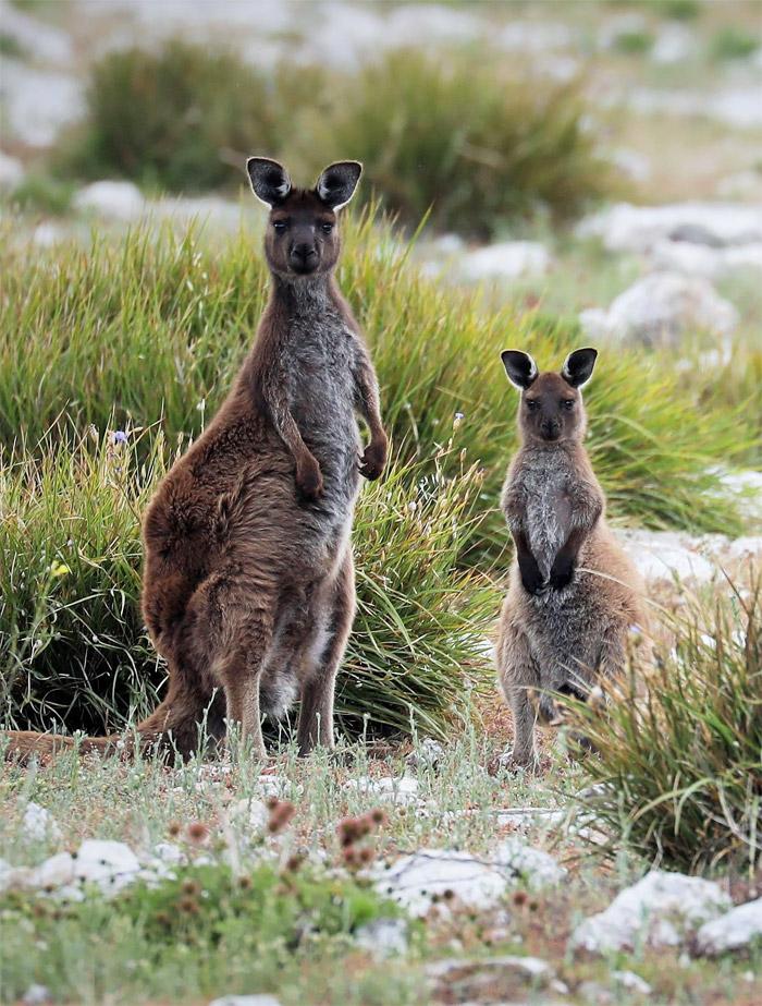 Kangaroo Islan Kangaroos